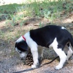 Diablo vs. the Pine Cone